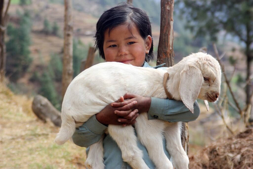 nepal, lamb, sherpa-1504853.jpg